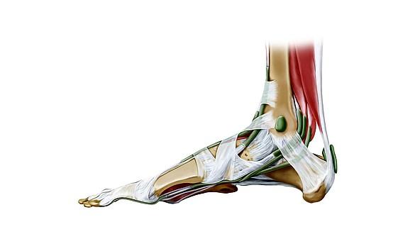 tendons hock foot